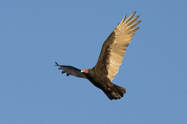 turkey-vulture-1109036__480